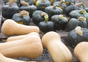 Our Butternut and Buttercup Squash curing in the greenhouse
