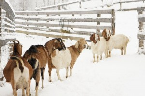 Goats lining up in the Snow by Rose Wall