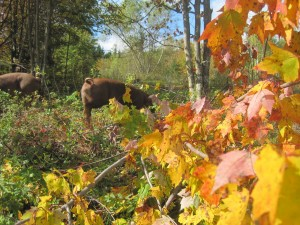 Pig on fall pasture