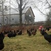 hens outside front yard