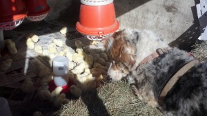 Uno studying the new chicks