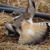 Kildeer's broken wing display