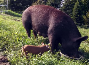 ramona and piglet on pasture