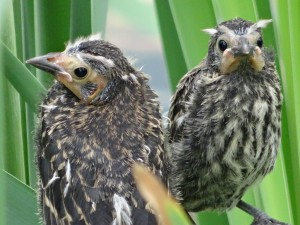 Red wing Blackbird chicks nesting on the pond edge