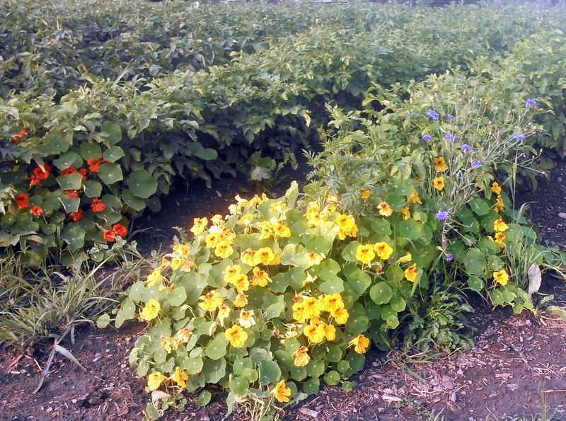 Nasturiums at the end of the Potato Rows