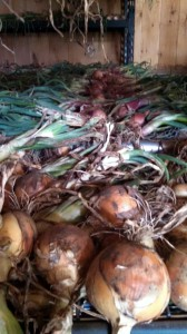 alisa craig onions drying