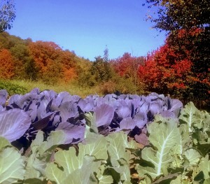 cabbage and foliage