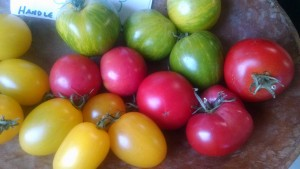 fall tomatoes