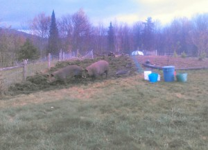 sows on orchard understory prep