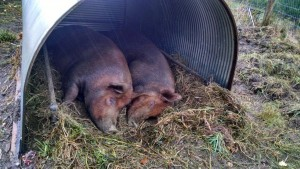 sows snuggling in rain