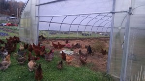 Hens moving into hoophouse for storm, lights and clean up duties