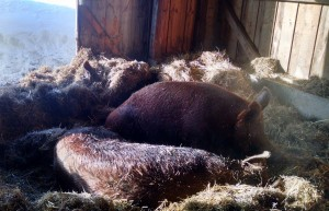 three sows burrowing pigs