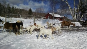 goats on winter browse