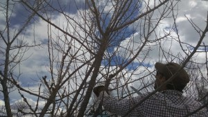 nicko pruning orchard