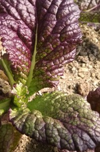 purple mustard in hoophouse