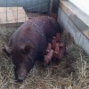 Jemima with day old piglets
