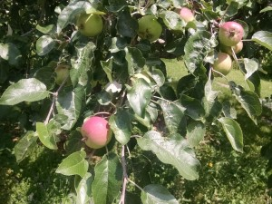 apple tree july