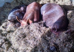 three sows jemima in middle