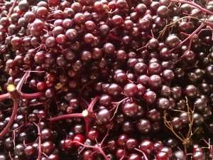 elderberry harvest