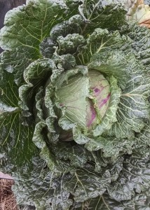 fair worthy cabbage