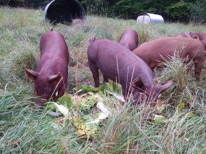 pigs enjoying napa on pastaure