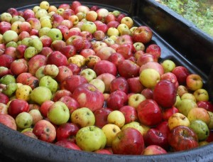 apples washed and ready