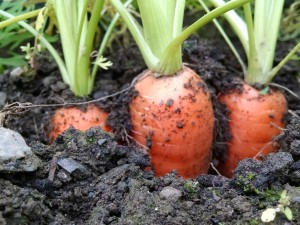 carrots in ground close up