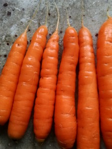 washed and beautiful carrots