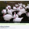 herding turkeys video link