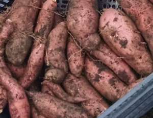 sweet potatoes just out of the ground