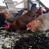 hens enjoying some red wigglers