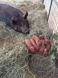 Sow & Pile of Piglets