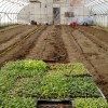 seedlings ready and one row in
