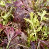 mizuna asian greens in field