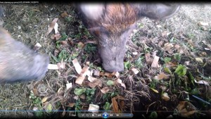 sows eating spinach