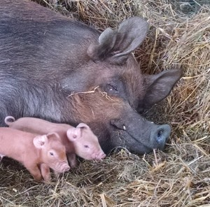 amelia and 2 newborn piglets