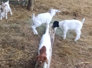 goat kids at play