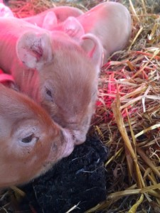 piglets eating compost