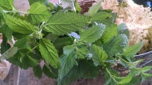 lemon balm for herb tea