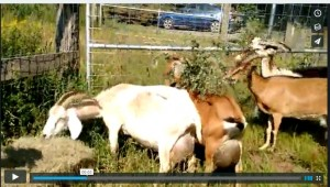 goats eating browse after being in culvert video link