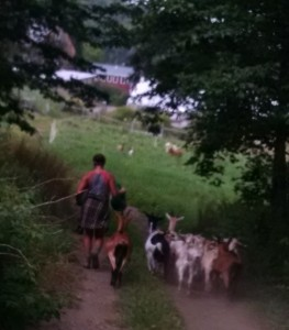 kat walking goats through farm
