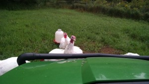 turkeys inspecting gator driver