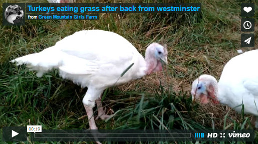 turkey-video-image-eating-grass