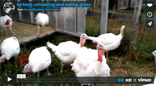 turkey-video-image-unloading-and-eating-grass