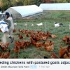 video-image-feeding-chickens-with-pasture-goats