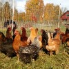 new-pullets-to-be-hens