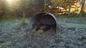 Happy Sows in their hay