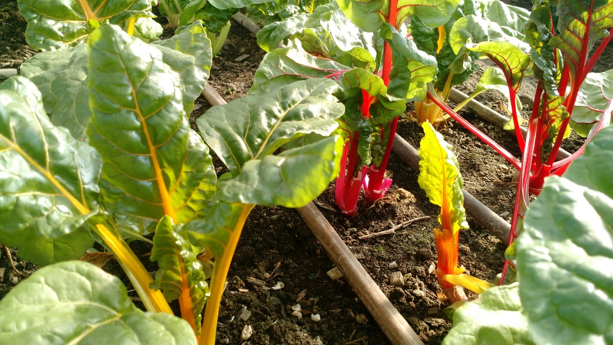 colorful-chard