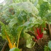 chard-in-hoophouse