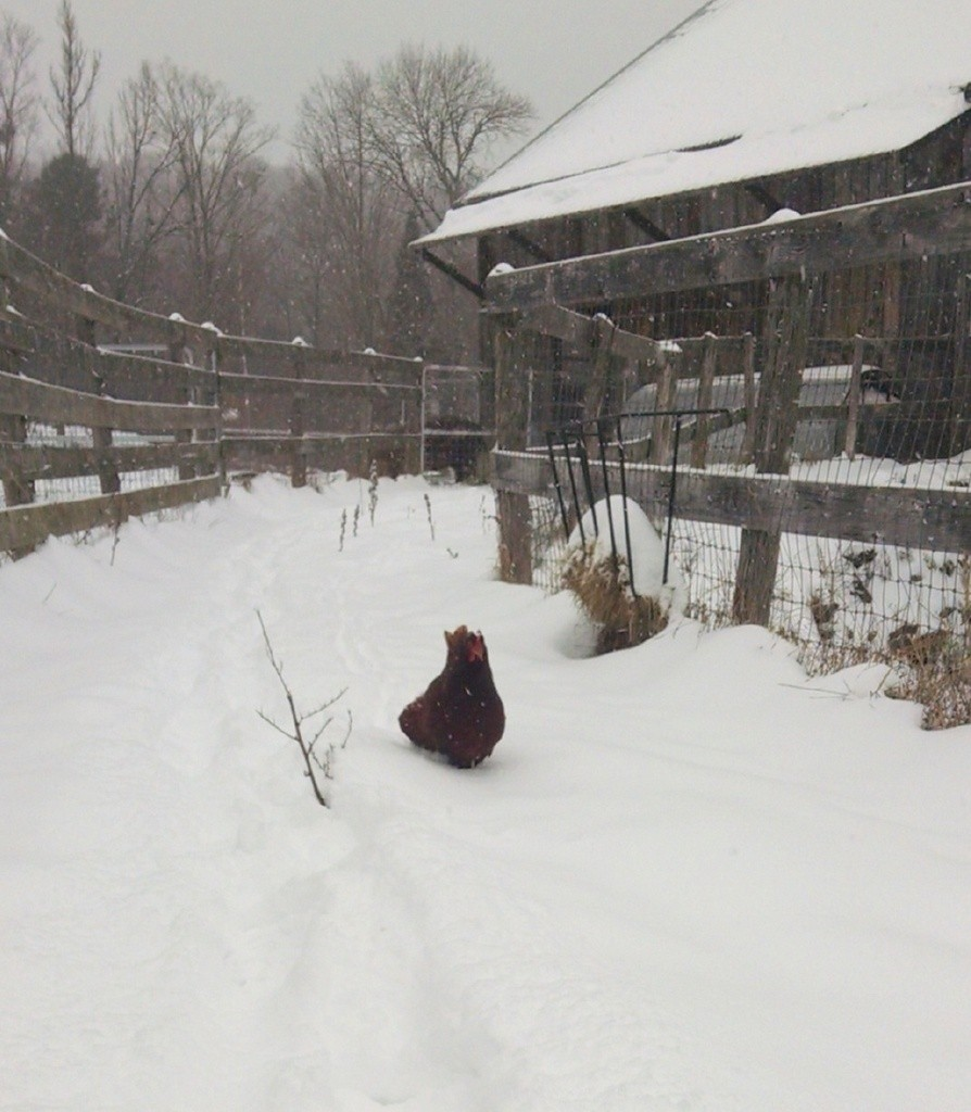 hen-trucking-through-snow-to-wagon